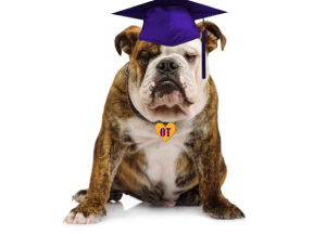 bulldog with graduation cap